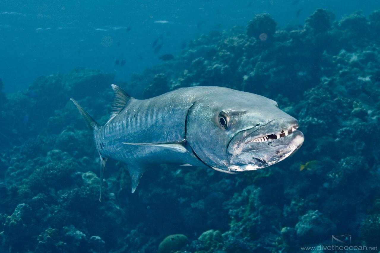 Teeth of Great Barracuda in current