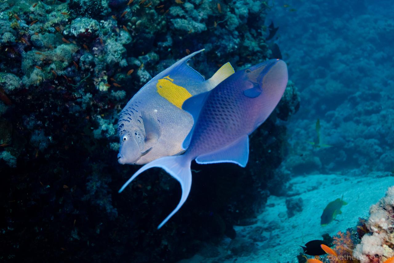 Dancing Arabian angelfish (Pomacanthus maculosus) & Redtooth triggerfish (Odonus niger)
