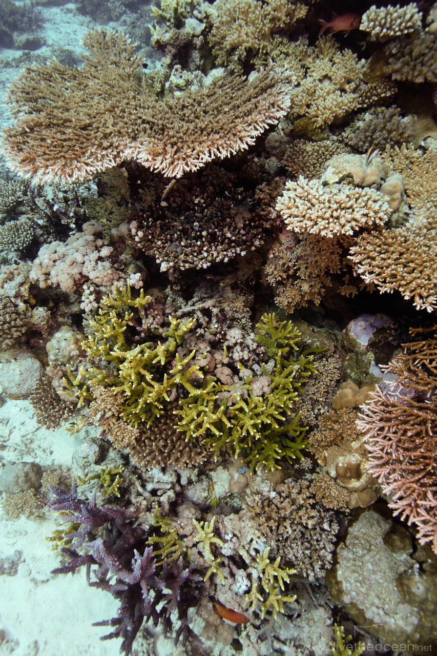 Various hard coral near Blue Bell wreck