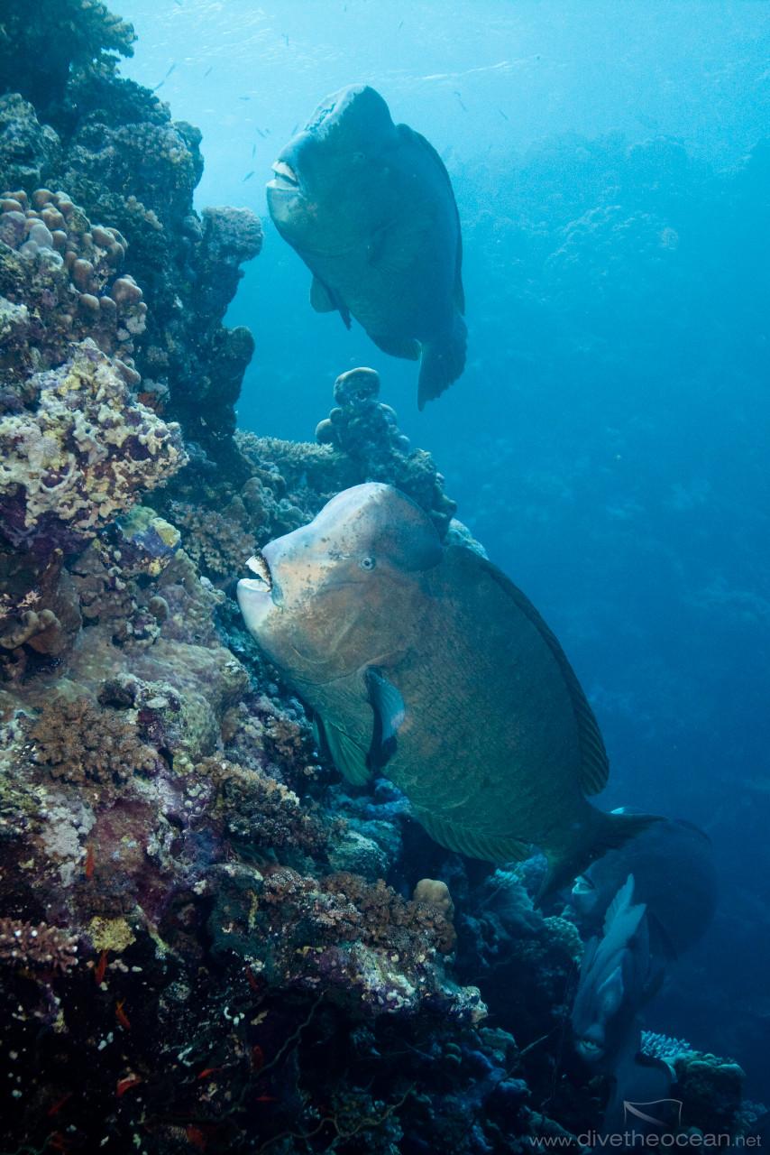 Group of Humphead parrotfish (Bolbometopon muricatum)