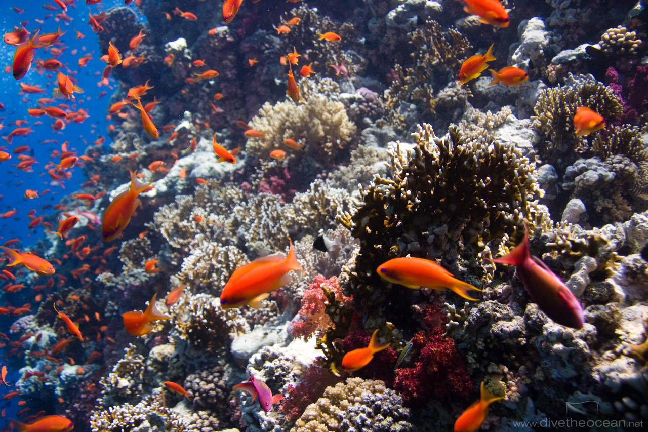 Clouds of Jewel fairy basslets (Pseudanthias squamipinnis)