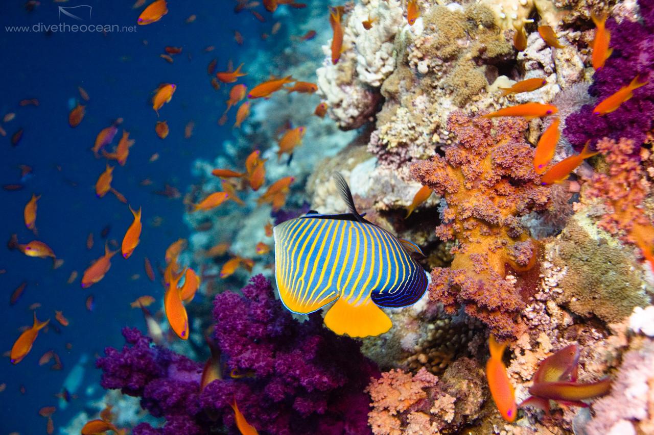 Emperor angelfish (Pomacanthus imperator) & Jewel fairy basslet