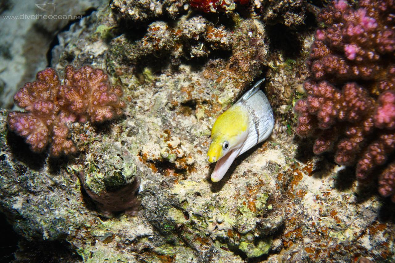 Yellowhead moray
