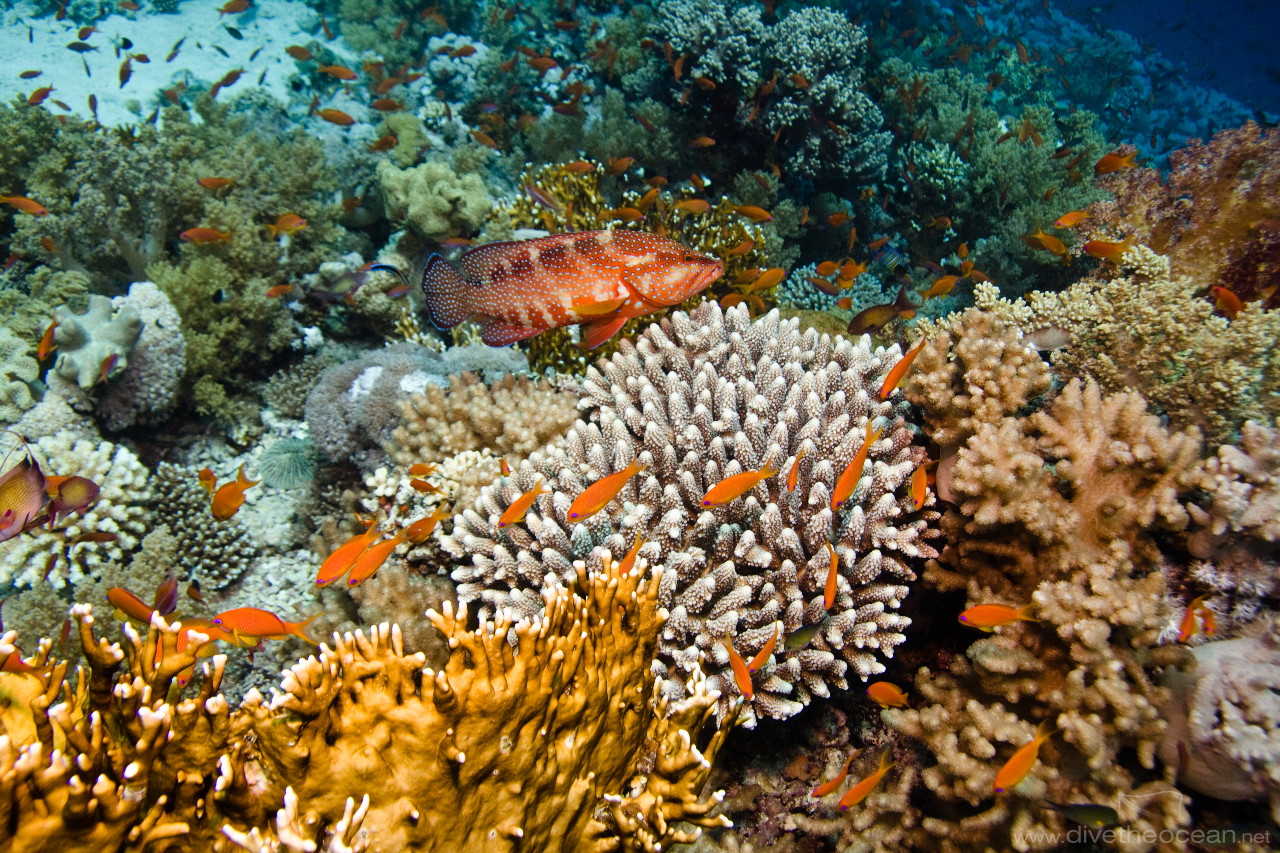 Coral grouper (Cephalopholis miniatus) on various coral