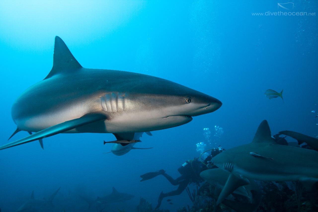 Diving with Caribbeann Sharks
