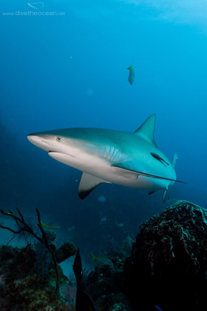 Caribbean Shark (Carcharhinus perezii)