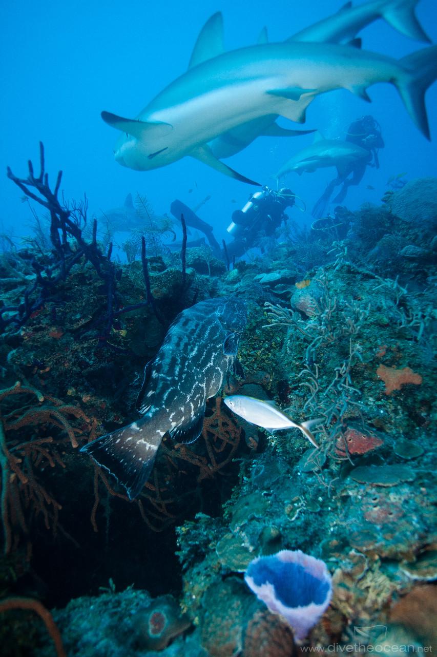 Caribbean Sharks (Carcharhinus perezii)