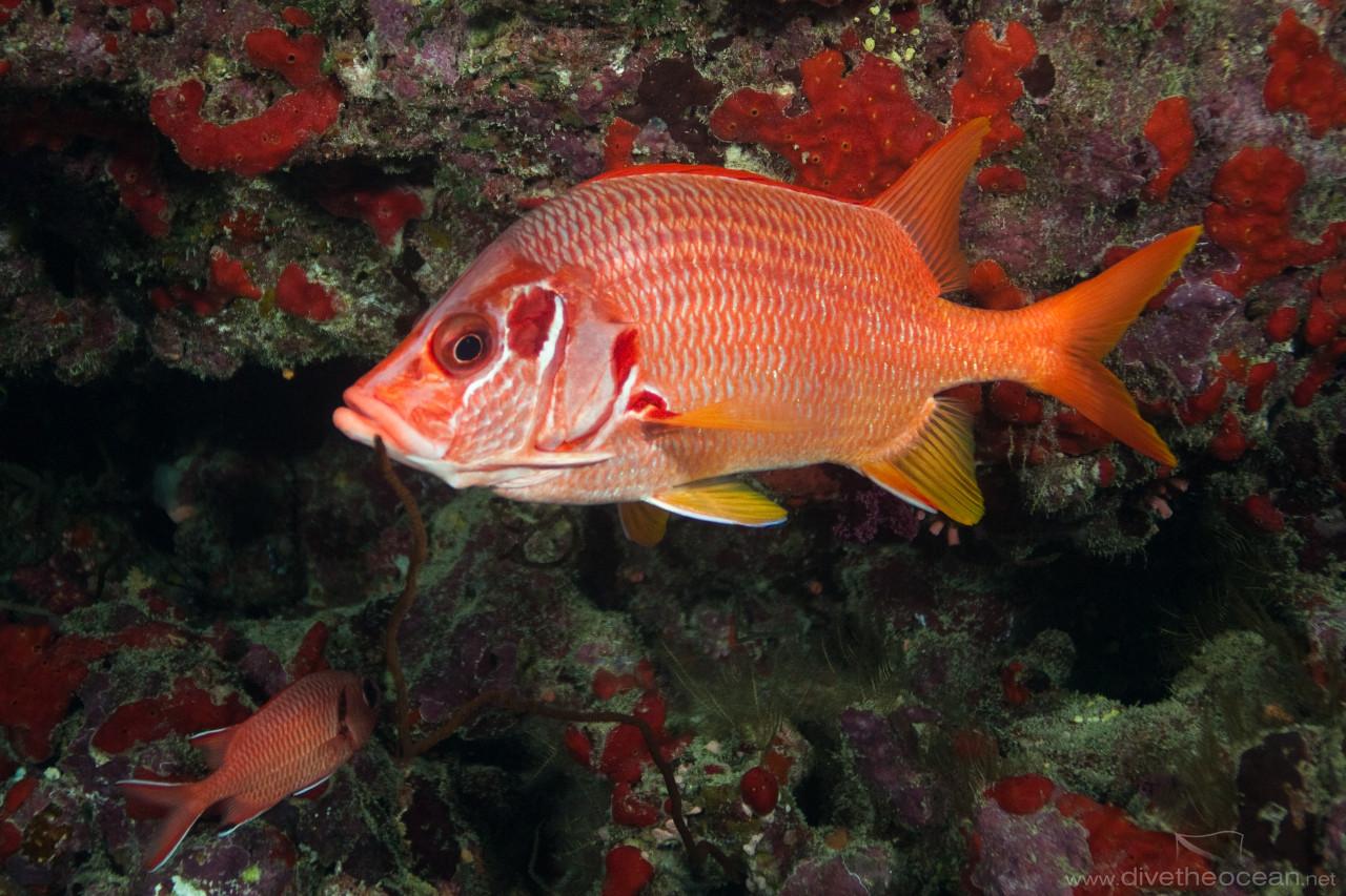 Giant squirrelfish (Sargocentron spiniferum)