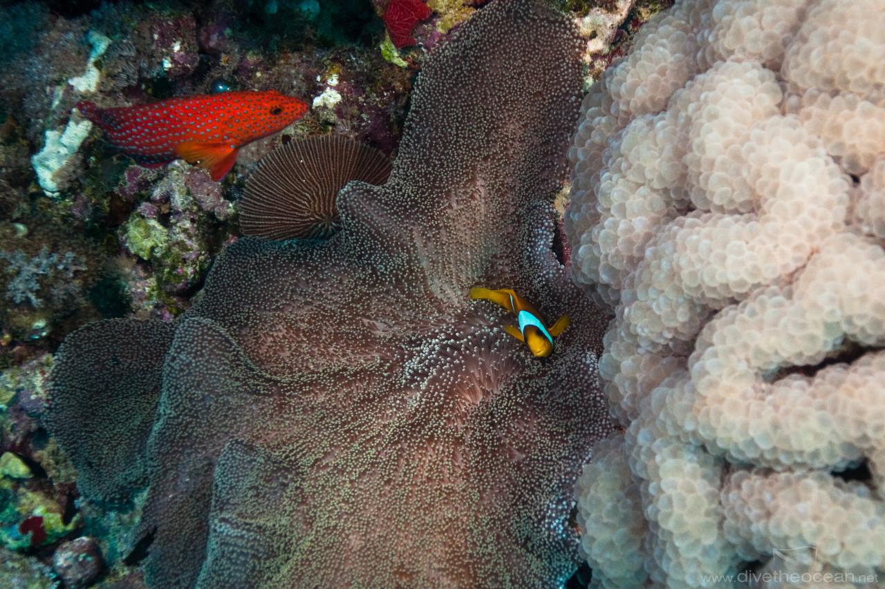Anemonefish & anemone next to Buble coral (Plerogyra sinuosa)