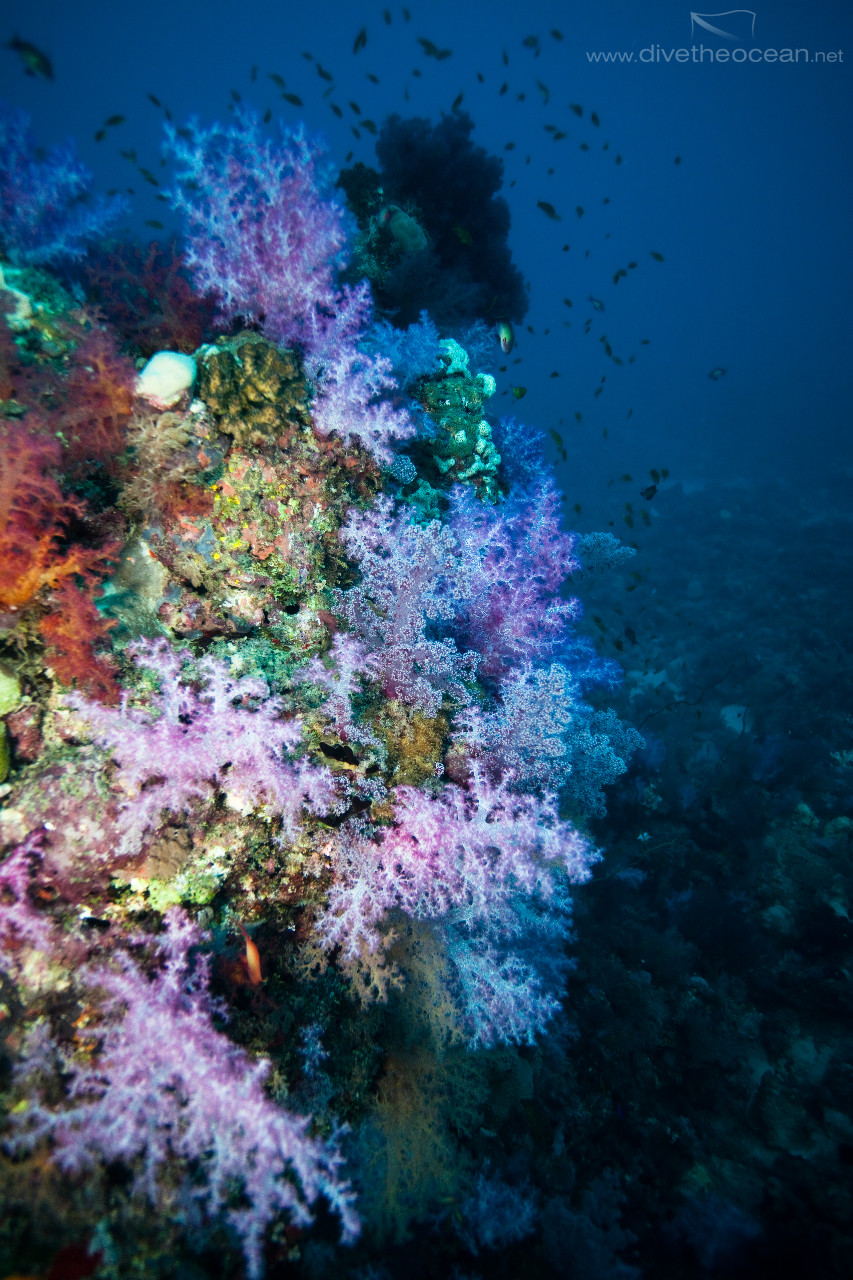 Sudan soft coral garden