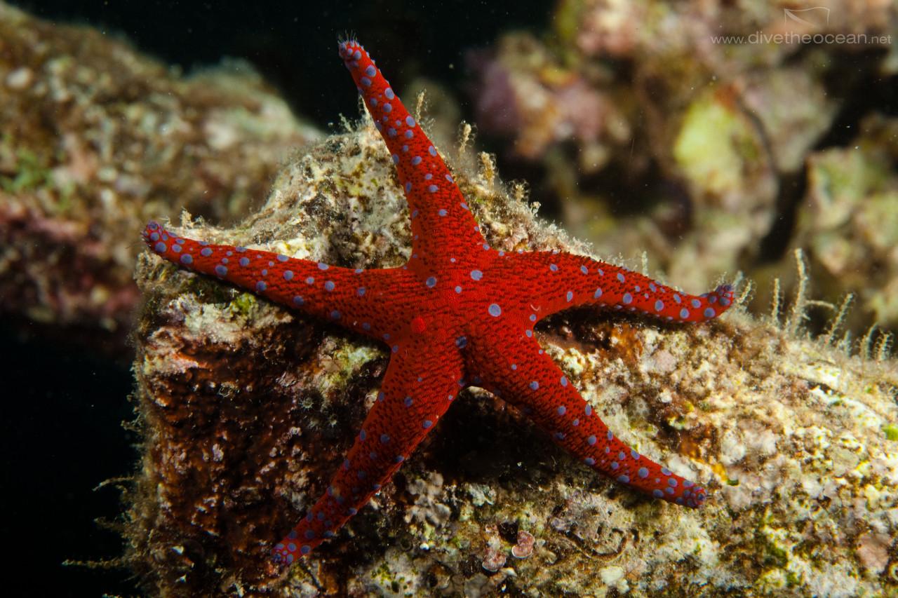 Ghardaqa sea star (Fromia ghardaqa)