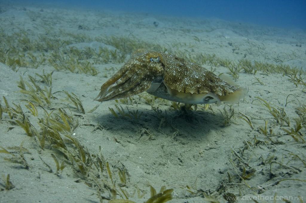 Hooded cuttlefish (Sepia prashadi)