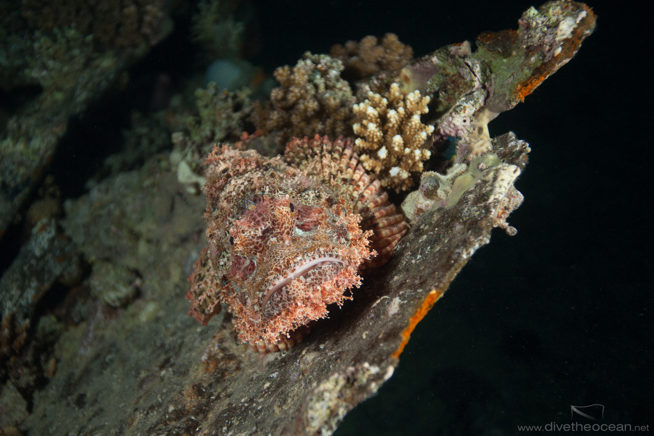 Flathead scorpionfish (Scorpaenopsis oxycephala) on wreck