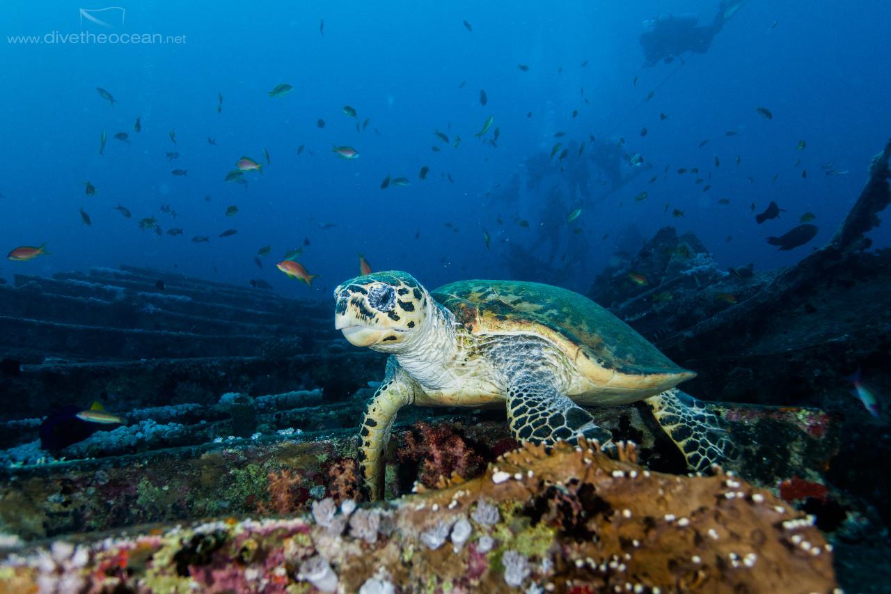 Hawksbill sea turtle  on SS Thistlegorm