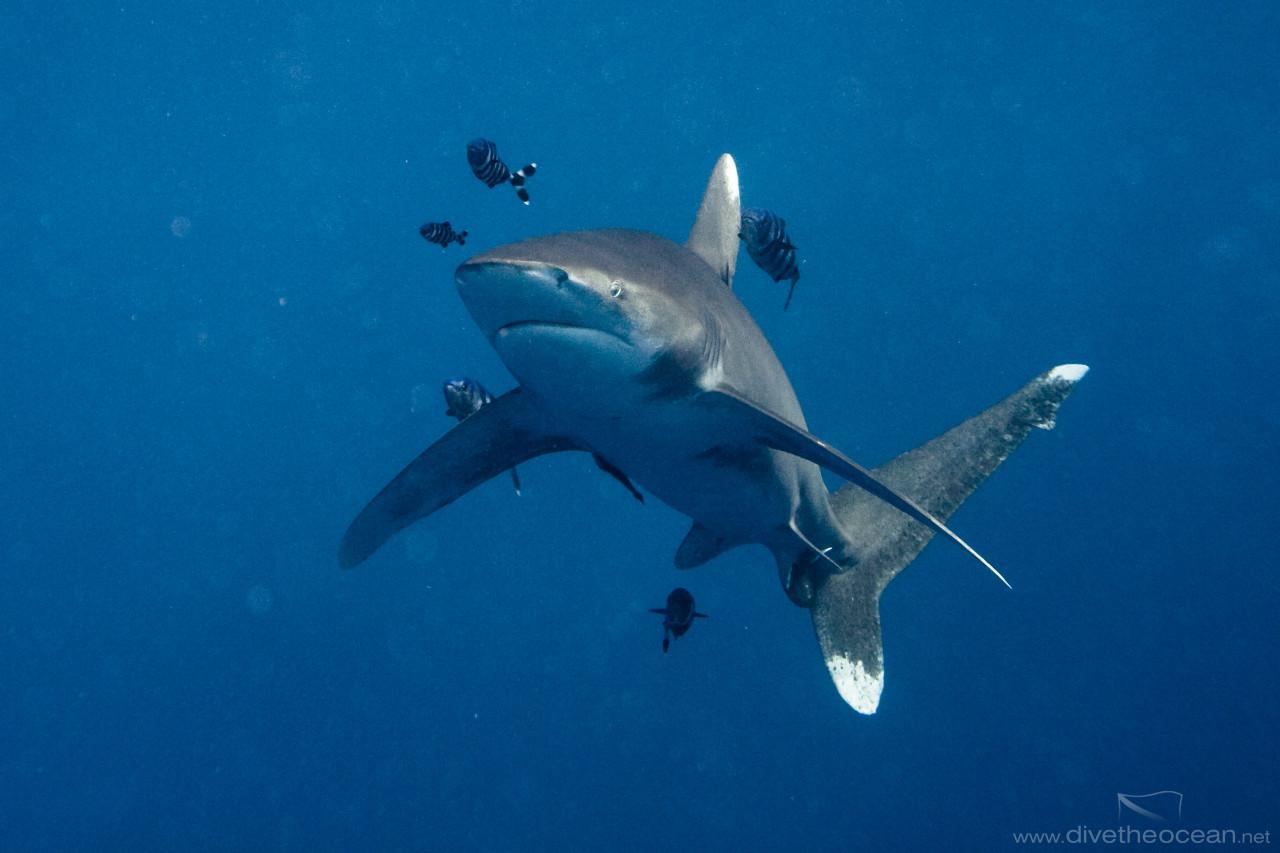 Oceanic white tip shark (Carcharhinus longimanus)