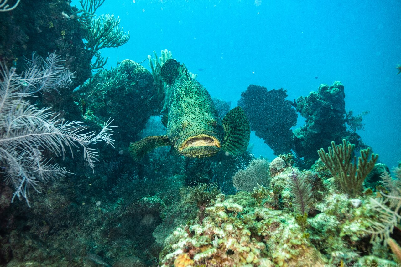 Kanic obrovský (Atlantic goliath grouper)