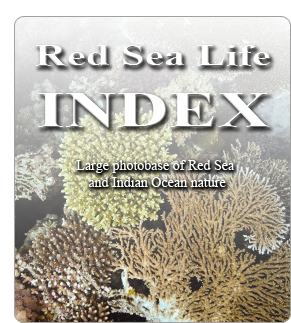 Red Sea Life Index - Large photobase of Red Sea and Indian Ocean nature