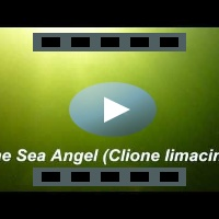 The Sea Angel (Clione Limacine)