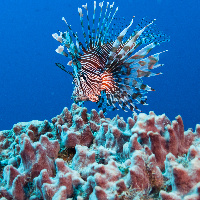 Russel's lionfish (Pterois russelli)