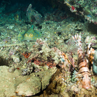 Flathead scorpionfish, Stingray and Lionfish on Thistlegorm wreck