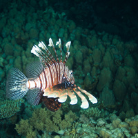 Lionfish - night dive