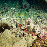 Scorpionfish & Stingray on Thistle wreck