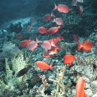 Common bigeye (Priacanthus hamrur) school