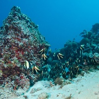 School of Bannerfish