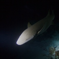 Nurse Shark in the Night