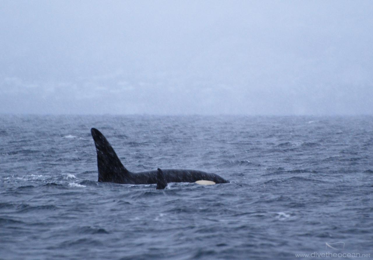 Orcas in Vestfjord, Lofoten, Norway