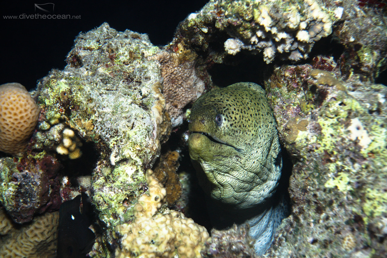 Giant Moray (Gymnothorax javanicus) in the night