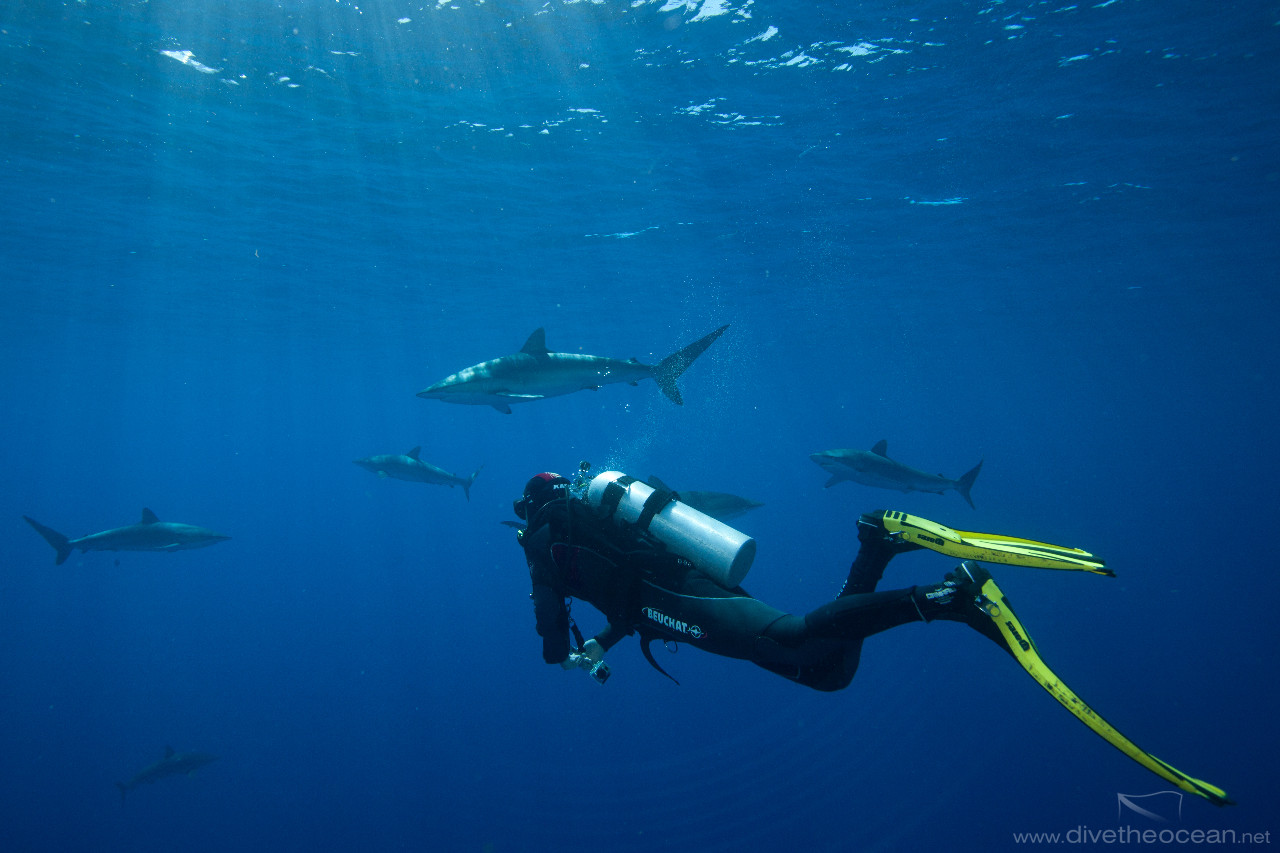 Diving with Silky Sharks