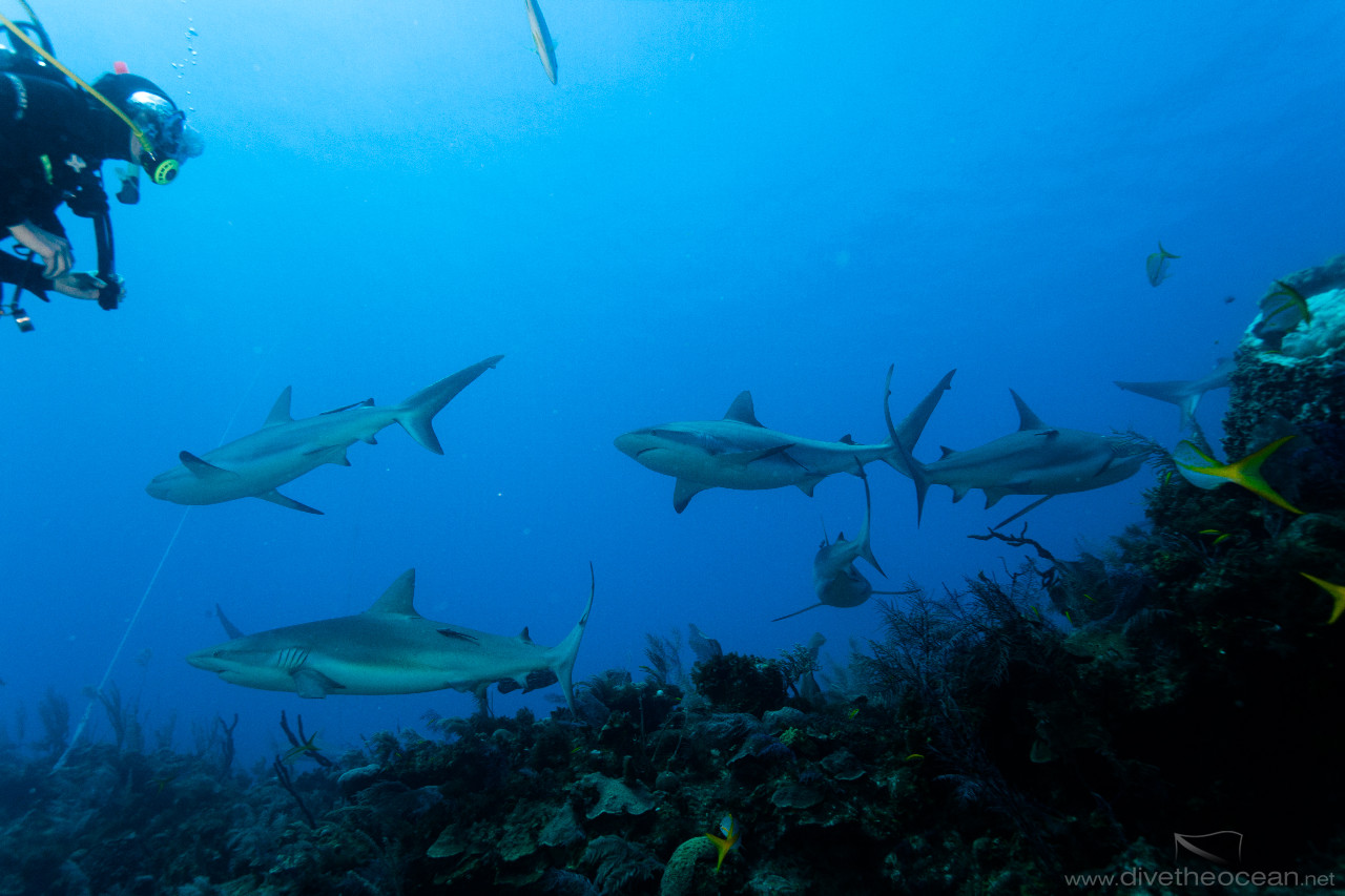 Diving with Caribbean Sharks