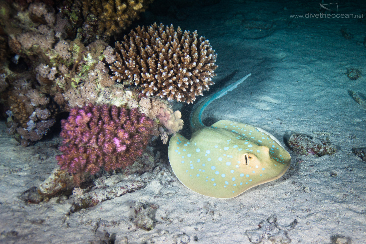Bluespotted Stingray on night dive