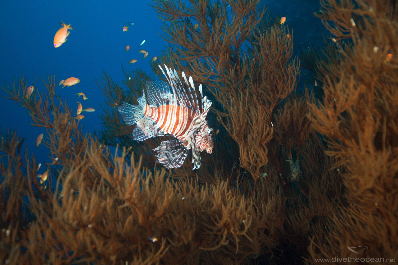 Lionfish in tree