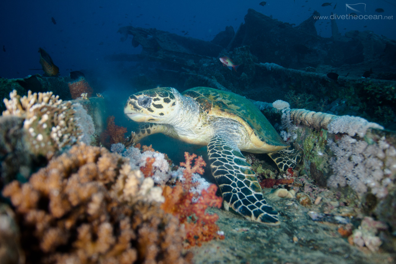 Hawksbill sea turtle  on SS Thistlegorm