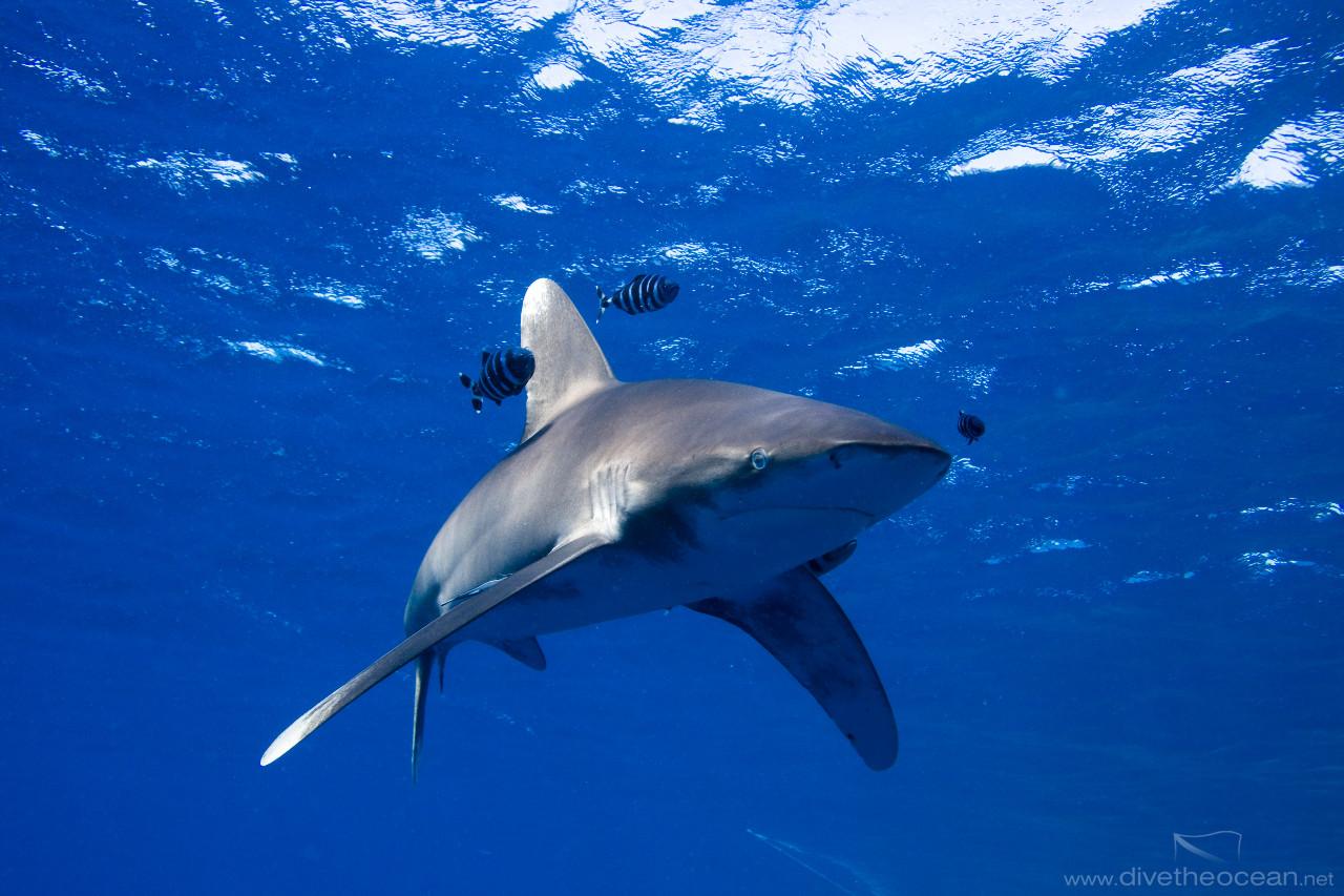 http://www.divetheocean.net/photo/330/oceanic-white-tip-shark-(carcharhinus-longimanus)-.jpg
